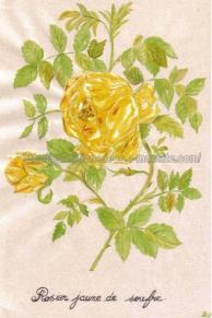 rosier jaune de soufre