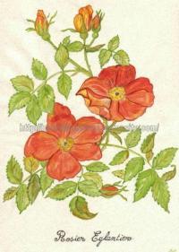 rosier églantier