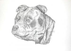 Staffie - portrait