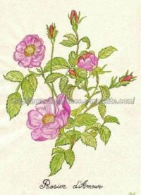 rosier d'amour